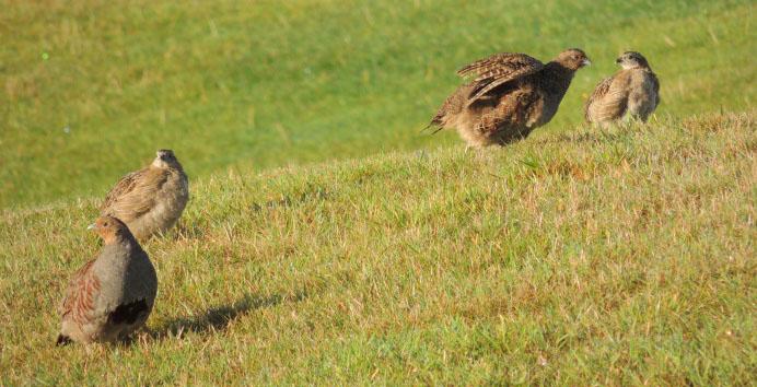 Partridge family crop
