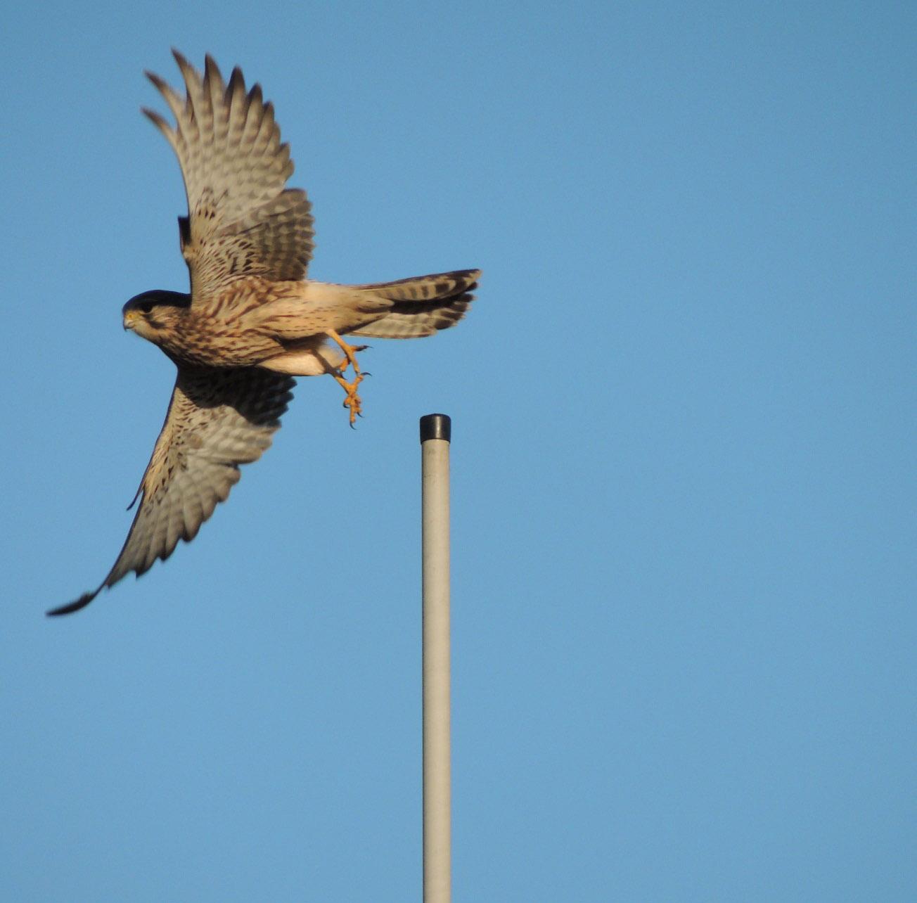 P falcon image