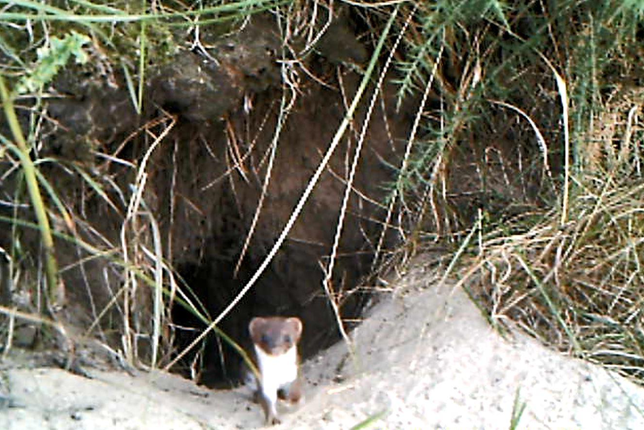 weasel2